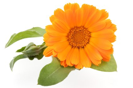 huile-de-calendula-calendula-officinalis-100ml-calendula-oil-100ml