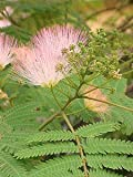 Hot Plant Co 3 X Albizia Julibrissin F Rosea Silk Tree Sent In 9cm Pots
