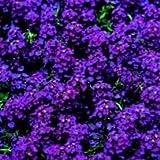 SEED BARGAINS: Alyssum Wonderland Deep Purple (Approx 300 Commercial Grade Seeds)