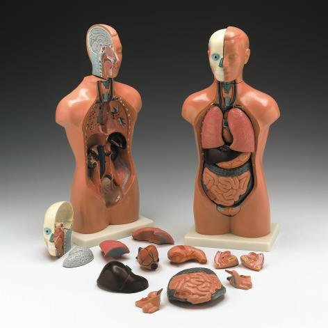 Anatomical Chart Co. Budget Peter/Petra Torso Model # CMT3 (Human Body Model compare prices)