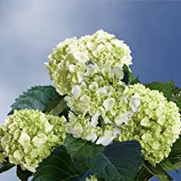 20 Fresh Cut Green Mini Hydrangeas | Fresh Flowers Express Delivery | Perfect for Birthdays, Anniversary or any occasion.