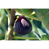 Texas Everbearing Edible Fig Plant - Ficus carica - Sweet - 4