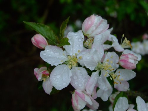 Crab Apple - Malus Sylvestris - 1 Pkt Of 25 Seeds - Hedging - Shrub - Tree - Fruit