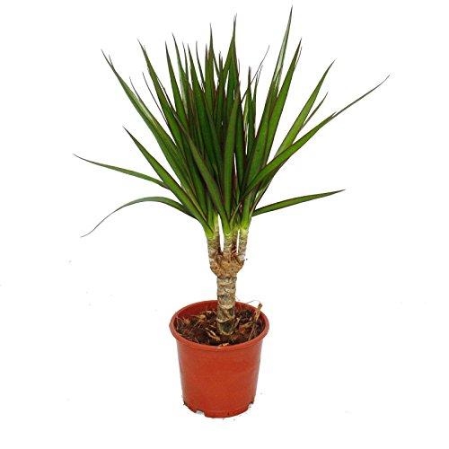 dragons-tree-dracaena-marginata-1-plant-easy-care-indoor-plant-palm