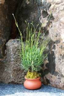 Live-Lavender-Plant-Clay-Washpot