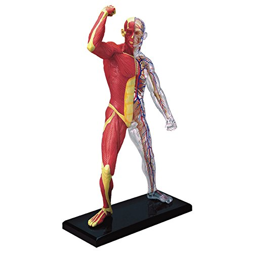 Famemaster 4D-Vision Human Muscle And Skeleton Anatomy Model (Human Body Anatomy Model compare prices)