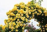 バラ苗 つるゴールドバニー 国産大苗6号スリット鉢 つるバラ(CL) 返り咲き 黄色系