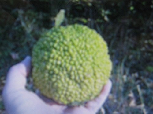 osage-orange-tree-seeds-hedge-apple-horse-apple-repels-insects