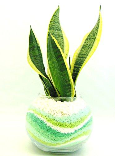 ミニ観葉 植物 サンセベリア ハイドロカルチャー ガラス植え ボウルM グリーン お手入れ簡単 お祝い ギフトに最適 室内で安心な土を使わない水耕栽培 お部屋にグリーンを置いてきれいな空気でリラックス
