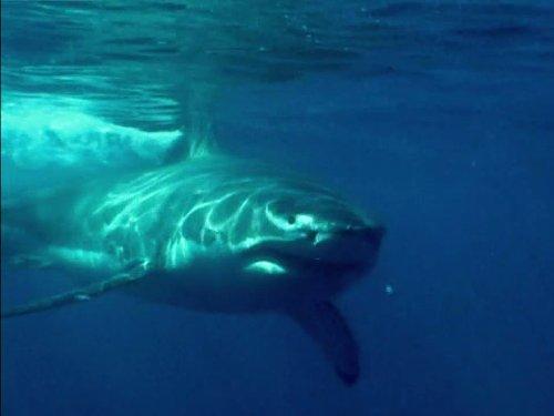 Shark Week: Blood in the Water