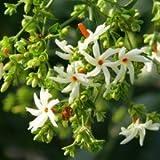 Plants Guru Parijatak Plant