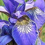 Iris sibirica 'Perry's Blue' 15cm Pot Size