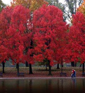 Maple Red (Acer Rubrum) Nice Garden Tree 25 Seeds
