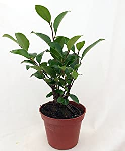Imported Chinese Ginseng Ficus Bonsai Tree - 3.5