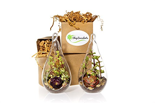 Shop Succulents Hanging Teardrop Succulent Garden Duo