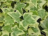 8.5cm pot grown Ivy, 3 different colours. Multiple cuttings in one pot.[Golden]