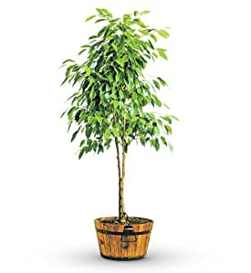 Green potted ficus tree live indoor house plants - Seven tricks for healthier potted plants ...