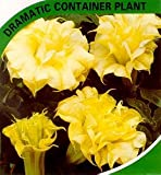9GreenBoxs: Annual Angel's Trumpet Double Cream 10 Seeds - Datura