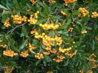 Feuerdorn 'Orange Glow' - Pyracantha 'Orange Glow' 15-30 cm, 3-4 pro m