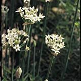 Suffolk Herbs Pictorial Pack - Garlic Chives - Allium tuberosum