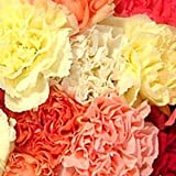 Send Fresh Cut Bulk Flowers - 200 Carnations Wholesale