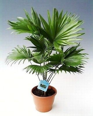 40-50-cm-livistona-rotundifolia-fan-palm-tree-in-14-15-cm-pot