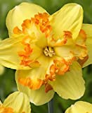 AUSVERKAUF : Narcissus - Narzisse