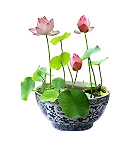 alkarty lotus seeds 10 pcs