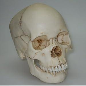 Amazon.com: Human Female Asian Adult Skull Replica: Industrial ...