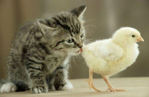 cartoline-animali-serie-gatti-gattino-schnup-pert-an-pulcino-10525
