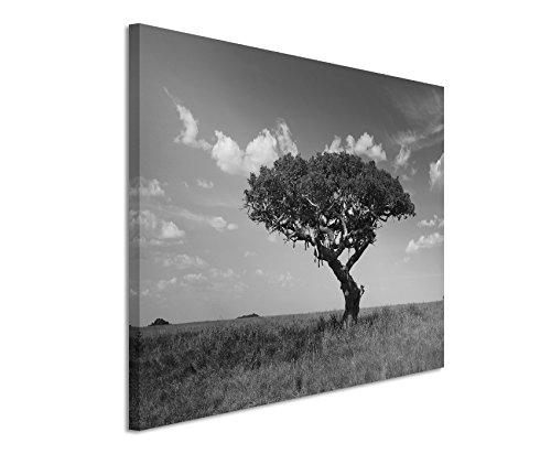 50x70cm Leinwandbild schwarz weiß in Topqualität Akazienbaum mit schlafenden Löwen