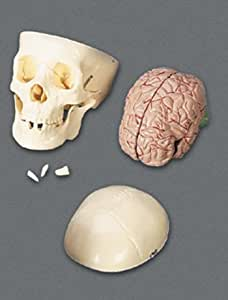 Educational Insights Skull With Brain Model