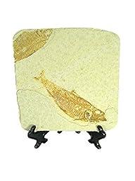 Natural Knightia Herring Fish Fossil Kemmerer Wyoming USA