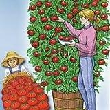 Hinterland Trading Rare Italian Tomato Tree- Grows up to 25 Feet Tall Trip -L Crop 30 Seeds