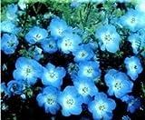 Just Seed - Flower - Nemophila menziesii Baby Blue Eyes - 200 Seeds