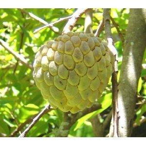 Annona Squamosa Seeds Sugar Apple Fruit 3 Seeds