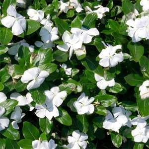 Periwinkle White - 2000 Seeds