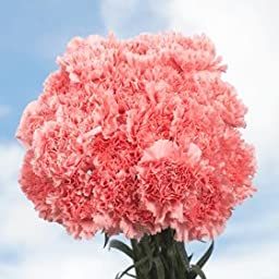 200 Fresh Cut Pink Carnations for Mother\'s Day | Fresh Flowers Express Delivery | Perfect Gift for Mother\'s Day.