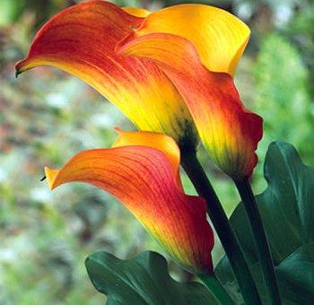 FLAME - Calla Lily Bulb