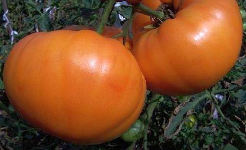 tomate-amana-orange-tomate-orange-amana-15-samen