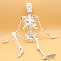 Maymii High Quality PVC Anatomical Human Skeleton Model Medical Poster Bonnet Stand,1/4 Life Size ,45cm