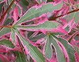 Japanese maple (Acer palmatum Marlo (PBR))