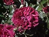 DEEP RED JAPANESE ROSE - ROSA RUGOSA VAR - 10 SEEDS