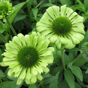 green jewel coneflower flower seed pack with. Black Bedroom Furniture Sets. Home Design Ideas