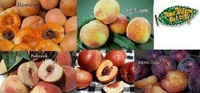 4-N-1 Fruit Salad Tree - With 4 of These Varieties (July Elberta Peach, Fantasia Nectarine, Santa Rosa Plum, Babcock White Peach, Blenheim Apricot) (Multi Fruit Tree compare prices)