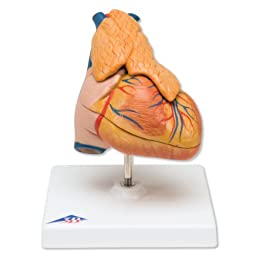 3B Scientific G08/1 3 Part Classic Heart with Thymus Model, 4.7\