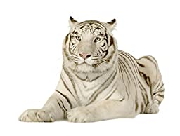 Wallmonkeys WM286650 White Tiger 3 Years Peel and Stick Wall Decals (30 in W x 23 in H)