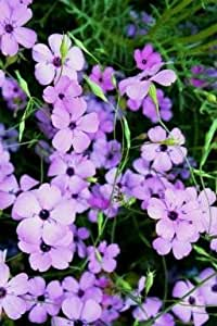 500 BLUE ANGEL VISCARIA (Rose of Heaven / Rose Angel) Silene Coeli-Rosa Flower Seeds