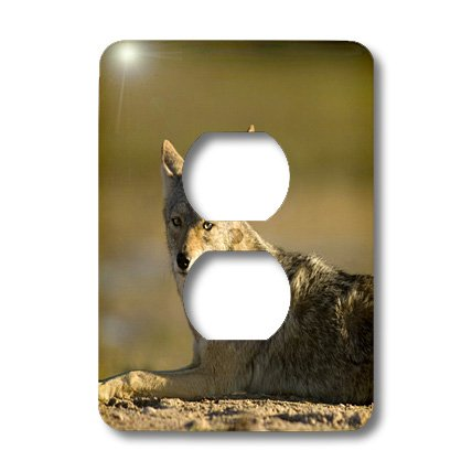 Lsp_86792_6 Danita Delimont - Wildlife - Coyote Wildlife, Scammons Lagoon, Mexico - Sa13 Ska0027 - Steve Kazlowski - Light Switch Covers - 2 Plug Outlet Cover