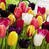 Mixed Triumph Tulip Bulbs - Spring Flowering - Packs of 50 & 100 Available - Free P & P (100)